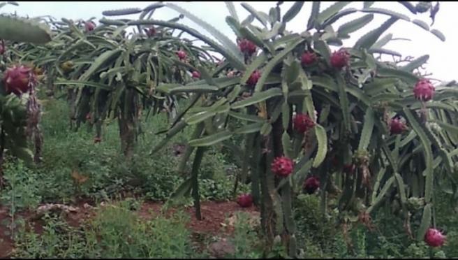 Kebun Buah Naga Di Rembang